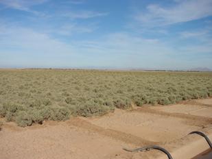 グアユール畑