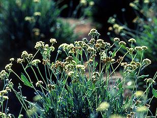 天然ゴムを含んでいる植物「グアユール」