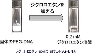 ジクロロエタン溶液に溶けるPEG-DNA