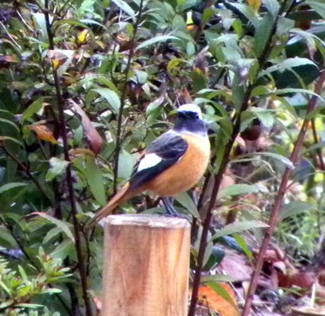 公園や河原などでよく見られる冬鳥の一種ジョウビタキ