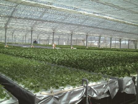 葉菜類用養液栽培システム「ナッパーランド」