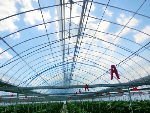 「やまもも」を展張したキュウリ栽培の施設園芸ハウス(高知県)
