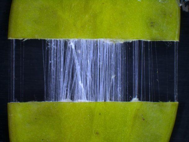 トチュウ果皮に含まれる原料のバイオポリマー