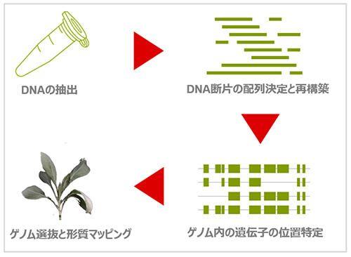 グアユールのゲノム解析