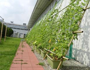 栃木工場 事務所のグリーンカーテン
